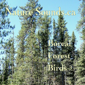 Boreal Forest Birds | Music | Ambient