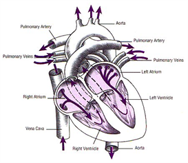 ap1.2.10 heart