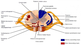 spinal cord and brain 2010