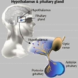 endocrine 2 2011 | Audio Books | Science