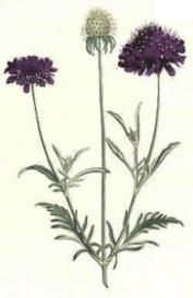 Oswald : Airs for the seasons - Scabious (Kbd) : Full score   Music   Classical