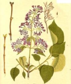 Oswald : Airs for the seasons - Syringa : Violin/Flute   Music   Classical