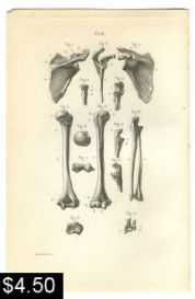 arm bones anatomy print