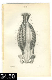 muscles of the back spine print