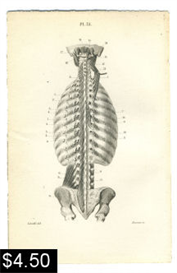 muscles of the back anatomy print
