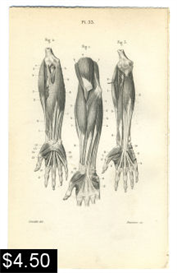 arm and hand muscles anatomy print