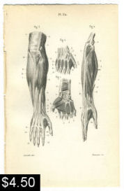 hand and arm muscle anatomy print