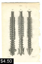 spinal column anatomy print