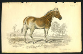 1838 Horse print Jardine Hippotigris | Photos and Images | Animals