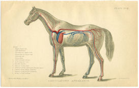 Horse Anatomy Print Blood Vessels | Photos and Images | Animals