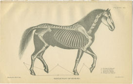 horse skeletal anatomy print
