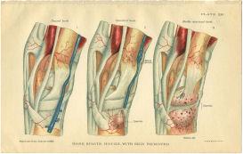 horse anatomy bone spavin print