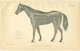 Horse Nervous System Print | Photos and Images | Animals