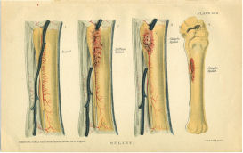 horse anatomy splints print