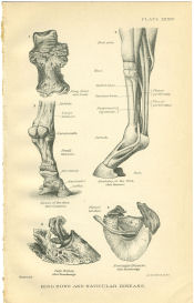 horse hoof anatomy print