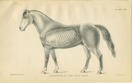 Horse Lung Anatomy print | Photos and Images | Animals