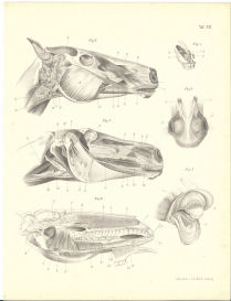 Horse Anatomy Print by Leisering | Photos and Images | Animals