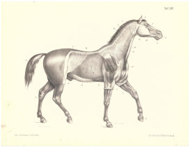 Horse Muscle Anatomy Print 1888 | Photos and Images | Animals